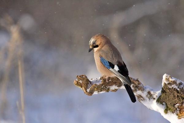 småfågel vinter