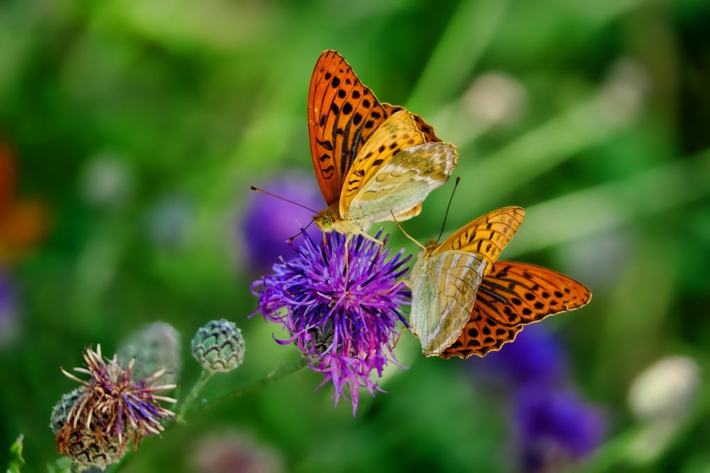 fjäril på blommor